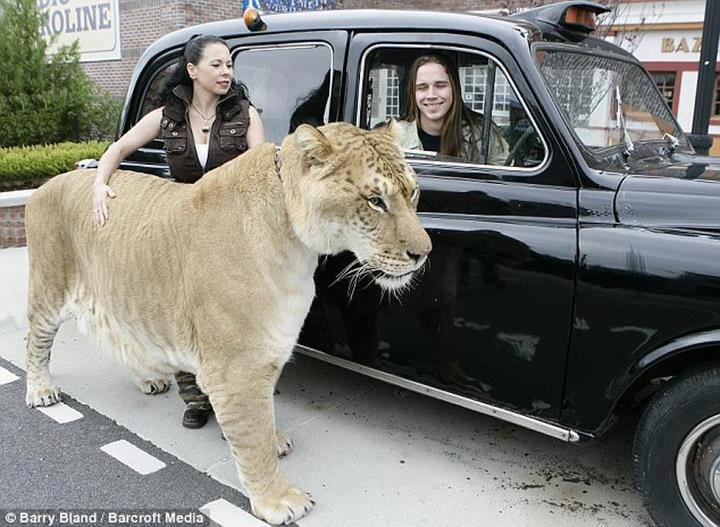 hercules the biggest of big cats hercules is a 900 pound heavy - Biggest Cat In The World Guinness 2014
