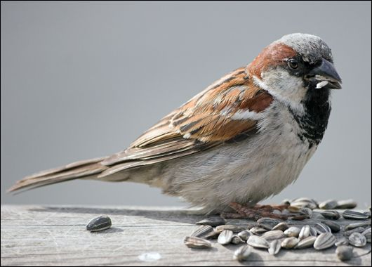 Male house sparrow...lots of these come to feed.