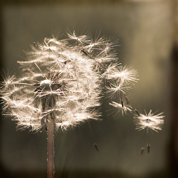 Dandelion flower sepia photography by yuliartstudio on