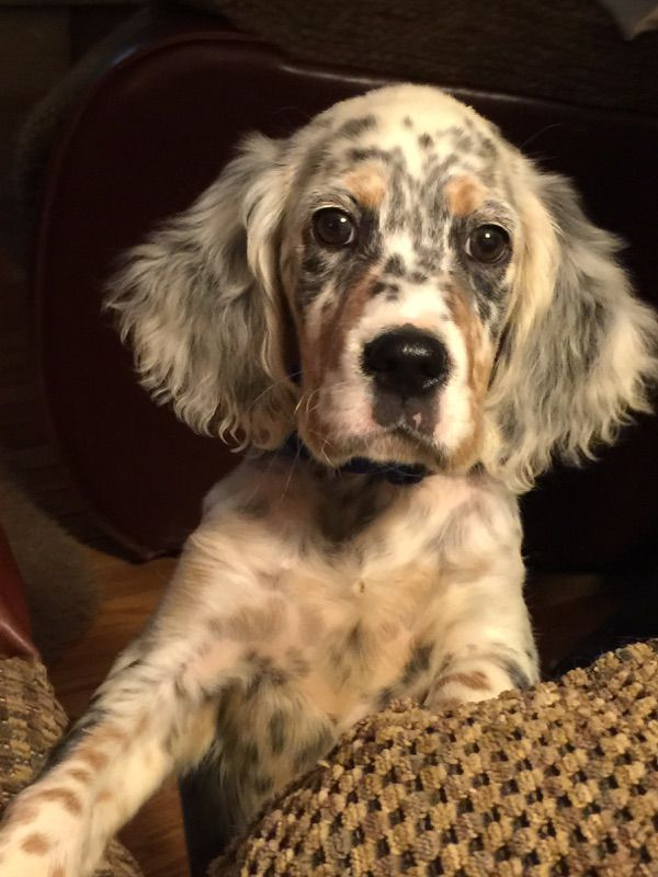 Our friends English setter puppy 2 months.