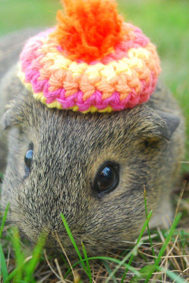 Guinea Pigs in Hats
