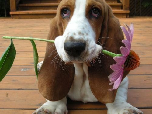 Attack of the cuteBasset Hound Puppies, Mothers Day, Blue Dogs, Pets, Bassett Hound, Bassethound, Flower, Puppies Face, Cutest Animal