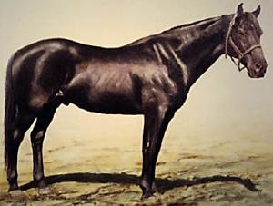 An original Australian Waler. This breed was the favoured mount of almost every cavalry in the world and thousands were exported, especially during WWI. Due to Australia's tough quarantine laws, only one Waler ever returned after WWI. Most were humanely destroyed by their riders to prevent cruel deaths or given to good homes.