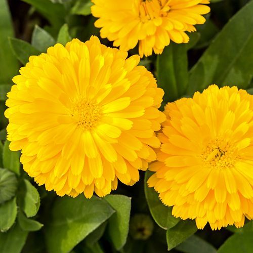 CALENDULA GOLDEN EMPEROR :: HEIRLOOM :: 100 seeds via Green Seed Tasmania. Click on the image to see more!