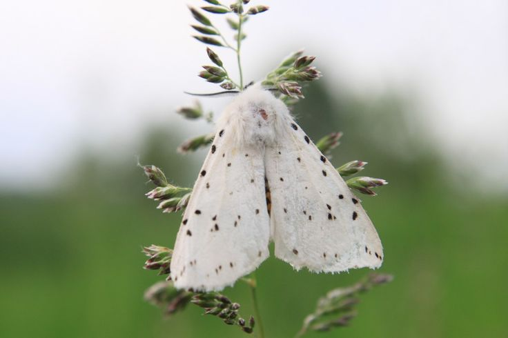 Fluffy White Butterfly, with Black Spots - Public Domain Photos, Free Images for Commercial Use