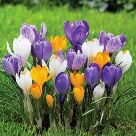 Crocus Bulbs For Sale | Buy Flower Bulbs in Bulk & Save