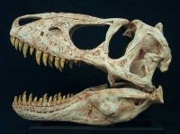 Teratophoneus curriei, Jevenile Tyrannosaur Skull