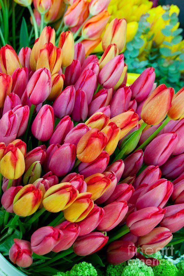 ✯ Tulips Galore