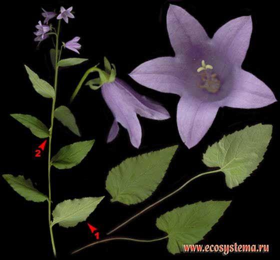 Колокольчик болонский — Campanula bononiensis L.