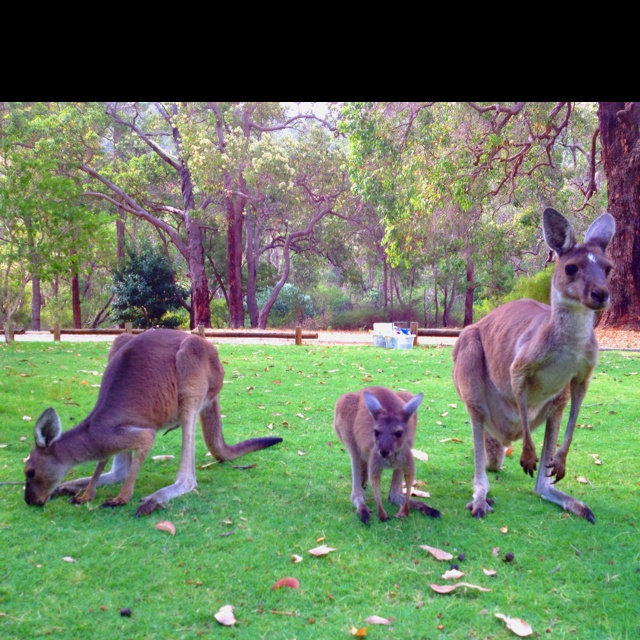 Roos we were petting at the park!! Perth!!
