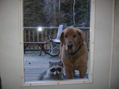Raccoon: Cat, Dogs, Pets, Raccoons, Funny, My Friends, Knock Knock, New Friends, Animal