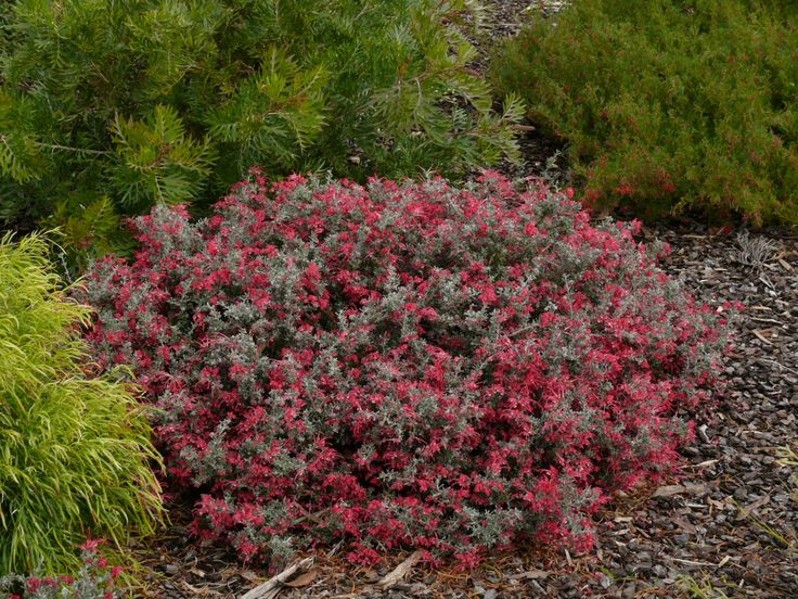 57 best images about australian native container plants on pinterest