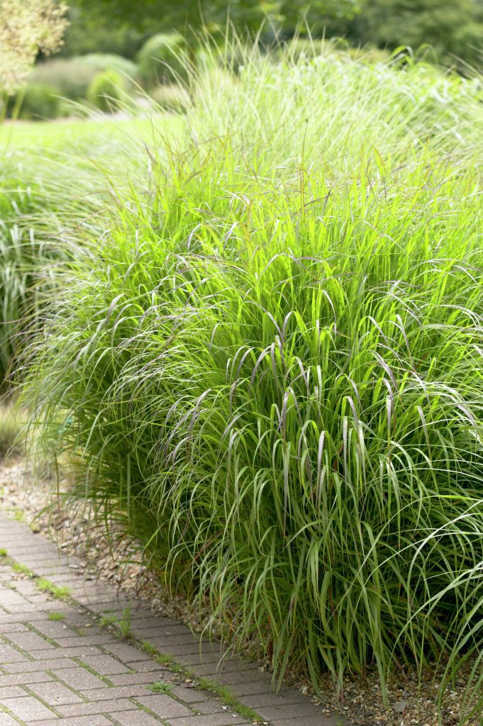 200 best images about ornamental grasses on pinterest for Tall grass shrubs