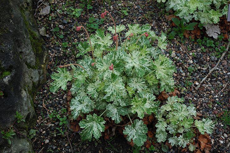 Heuchera sanguinea 'Frosty'.  körsbärsröda klockformade blommor med flikigt bladverkt som har krämvita färgstrimmor på sina ljust  skogsgröna blad. Vintergrön.