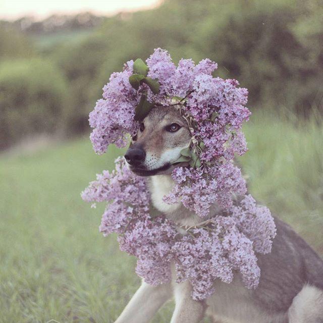 princess  #altair #princess # #czechoslovakianwolfdog #wolfdog #dogofinstagram #dogflowers #dog #dogoftheday #thebest_capture  #hajkanphoto #instadog #canoncz #dogsofficialdog #cuddles