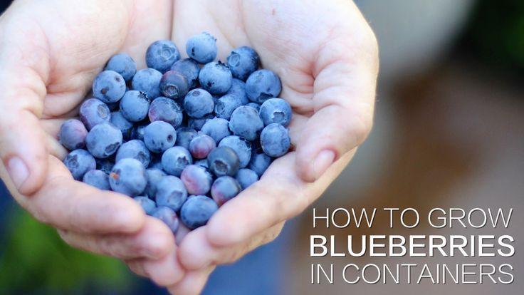 how to grow blueberries at home