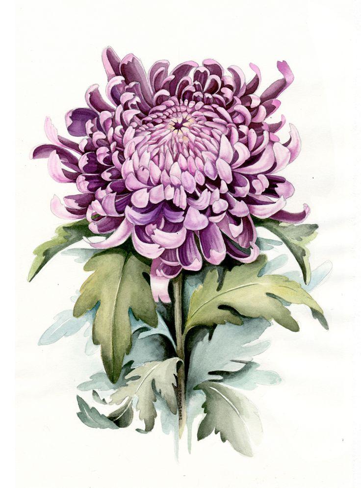 Violet Chrysanthemum. Watercolour Botanical Illustration by Elena Limkina