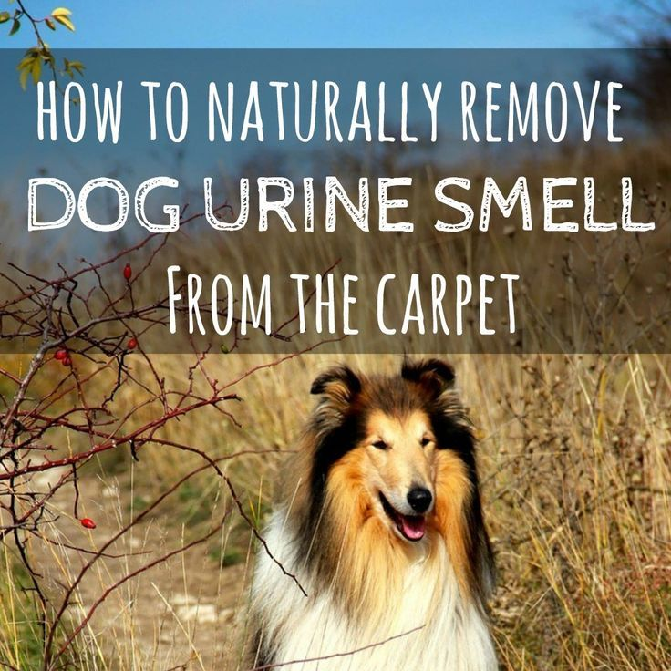 How to naturally remove dog urine from the carpet | How to get rid of dog urine smell | How to remove dog urine smell from carpet | Natural pet stain remover | Chemical-free pet stain remover