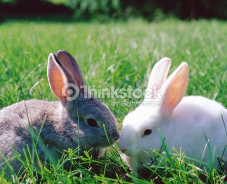 Stock Photo : Grey and white rabbits on grass
