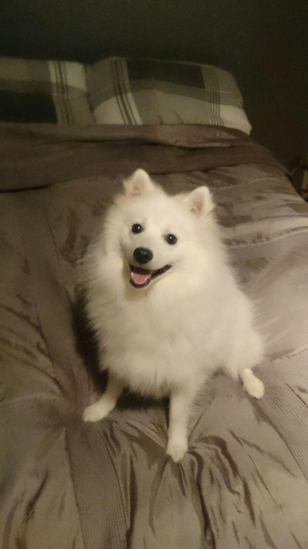 Loveee Japanse Spitz/spits #Dog