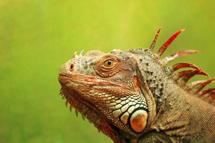 15 best images about Fiji Animals and Reptiles on ...