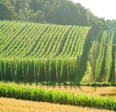 growing hops - Google Search