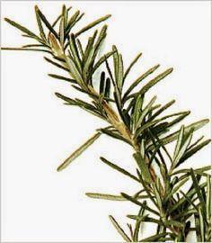 """Você bebe regularmente chá de alecrim?Se a resposta for """"não"""", você está perdendo muito. Esse delicioso chá pode ser feito puro ou misturado a outras ervas."""