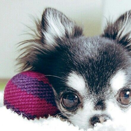 I love this color in short haired chihuahuas #applehead #chihuahua #chilove   Pinned via Chihuahua from Zoe Douglas