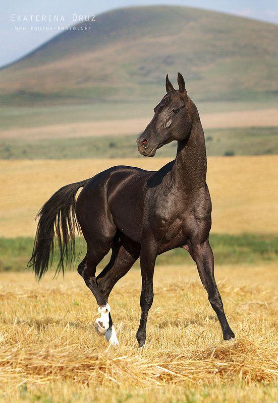 Akhal-Teké En el oasis de Karakum, apareció esta raza de caballos aproximadamente hace más de tres mil años, dando nacimiento a otras razas. Es un verdadero caballo del desierto, y jamás se ha dejado influir por otra raza. Los jinetes de Turkmenia los utilizan para carreras y competencias deportivas por sus innegables condiciones de vigor y resistencia. Los rusos gustan de esta raza por su magnifico pelaje con rayas plateadas, reminiscencia de clase de galgo.