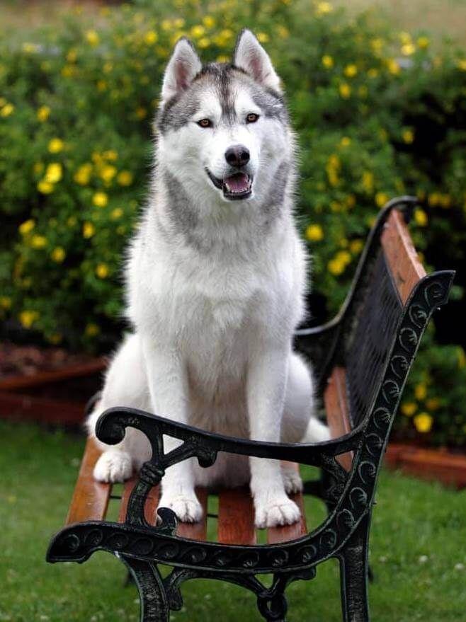 How To Groom A Husky Removing Undercoat Handling Shedding