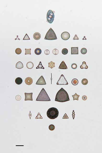 Arranged Diatoms on Microscope Slides in the California Academy of Sciences Diatom Collection by california academy of sciences geology, via Flickr