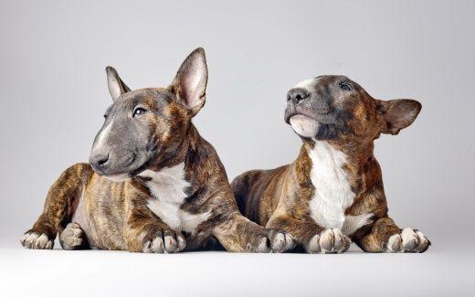 Бультерьер Собаки обои (15 фото) для рабочего стола, скачать картинки на рабочий стол