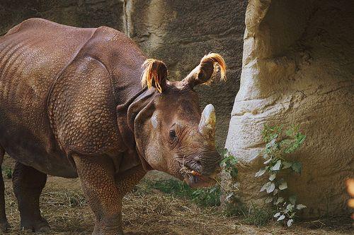Sumatran rhinoceros (Dicerorhinus sumatrensis) Critically Endangered