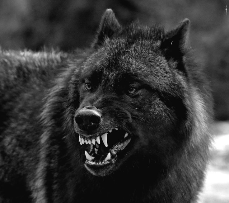 wolf in black and - photo #40