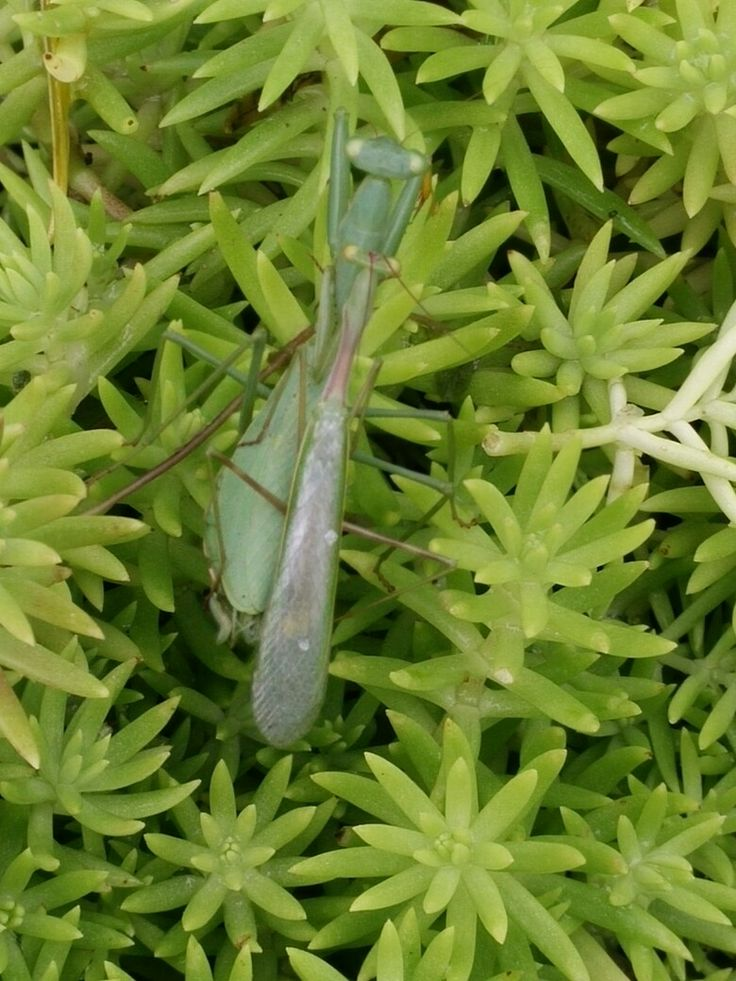 Praying mantises in tandem