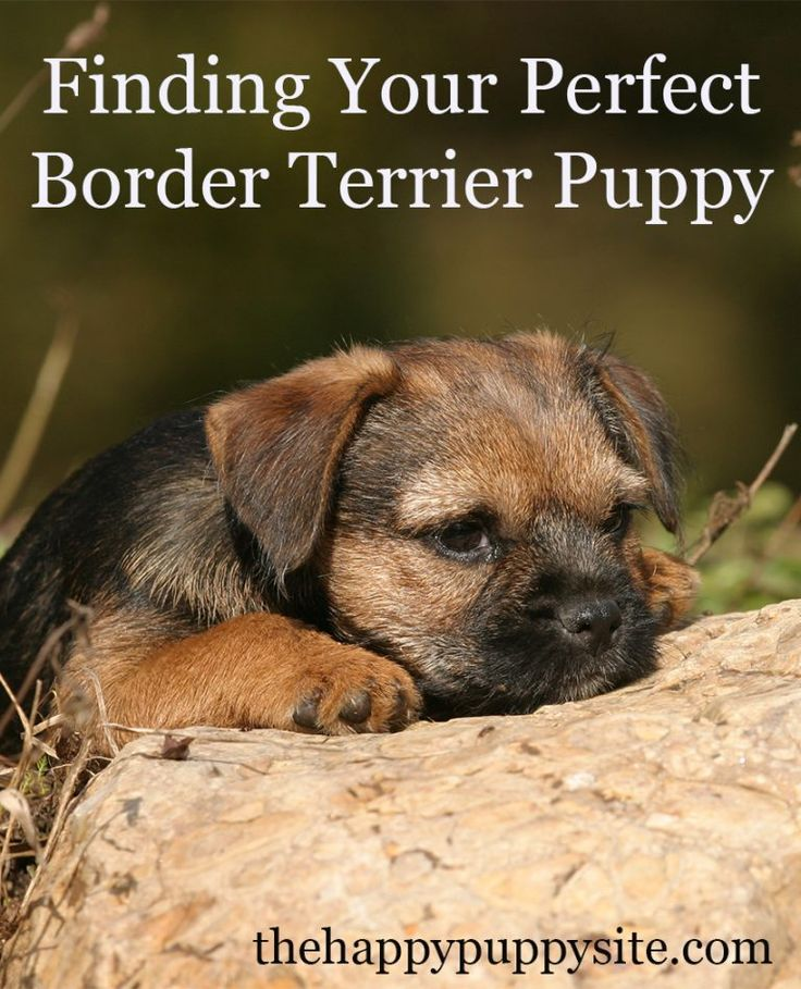 Border Terrier Dog Breed Information Center