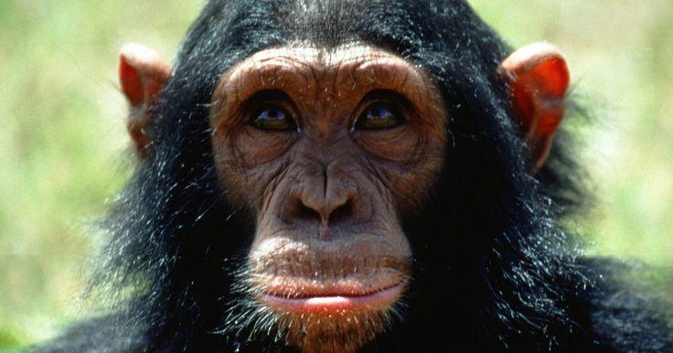 Como fazer uma máscara de macaco. Os macacos são os animais prediletos de muitas crianças pequenas. Sua alegria natural combinada com seus rostos de bebê os tornam adoráveis. Criar uma máscara de macaco é uma brincadeira simples e divertida de se fazer com crianças. Os materiais são baratos e fáceis de encontrar. Seu filho ficará feliz ao brincar muitas vezes com as máscaras ...