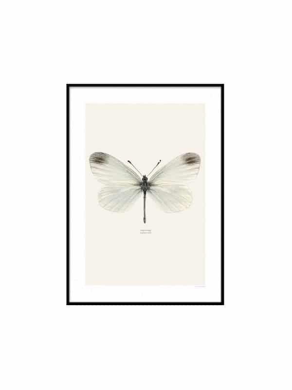Poster Fjaril – Angsvitvinge - Storlek 40x50