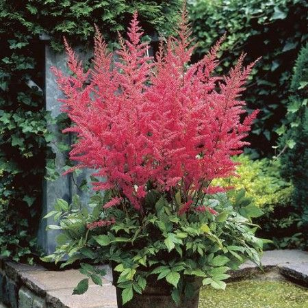 Astilbe arendsii Granat Bare Root - 3 plants