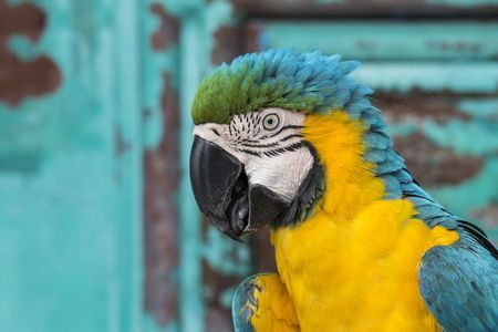 Tangestran, Indonesia- The Ara Ararauna Photo by Emanuele Del Bufalo -- The blue-and-yellow macaw (Ara ararauna), is a large South American parrot with blue top parts and yellow under parts. It is a member of the large group of Neotropical parrots known as macaws. Unfortunately there are splendid specimens for sale in many markets of Southeast Asia.