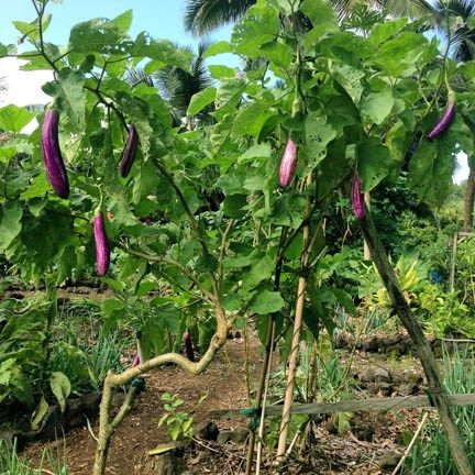 90 Best Eggplant And Solanum Family Images On Pinterest 400 x 300