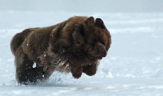 Newfoundland pouncing in the snow. Artist Stephen Kline has collected a variety of dog and people images. Please visit his gallery at drawDOGS.com where you'll find over 110 breeds of dogs drawn from just words, including the Newfoundland.