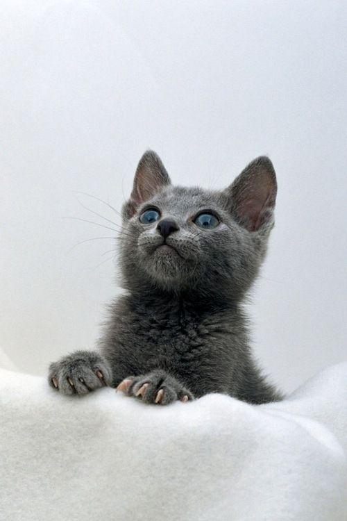 I want a gray kitty