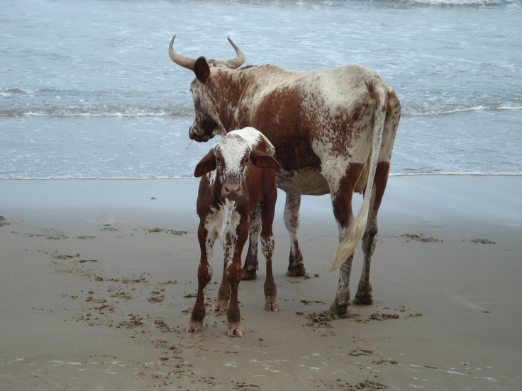 Nguni Cows on Wild Coast Beach. Travel the world see Cows on the beach.