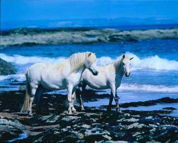 Twee witte paarden bij de zee