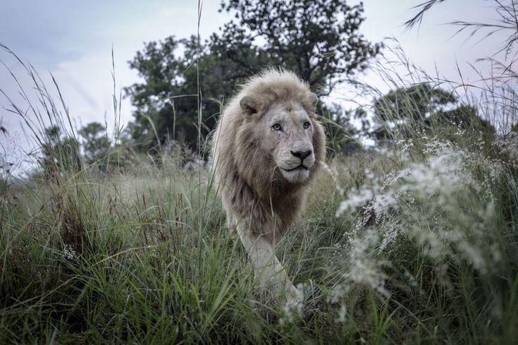 Aslan, l'operazione ai denti del grande leone bianco