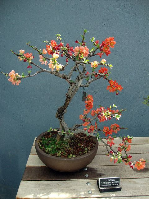 Japanese Flowering Quince #bonsai