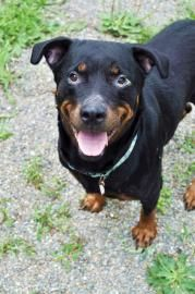 Bangor, ME**Animal ID #20462054  Violet ~ s13/14-0183 Spayed 6 year old Rottweiler**Bangor Humane Society Phone: 207.942.8902 https://www.facebook.com/photo.php?fbid=554733494573896=a.145828172131099.25982.145813598799223=3 Gorgeous Violet is a shy yet charming girl. Violet is looking for gentle guidance to help her come out of her shell. Treat her sweet and kind and she'll blossom. She prefers to be the only pet. She is affectionate &  well mannered.