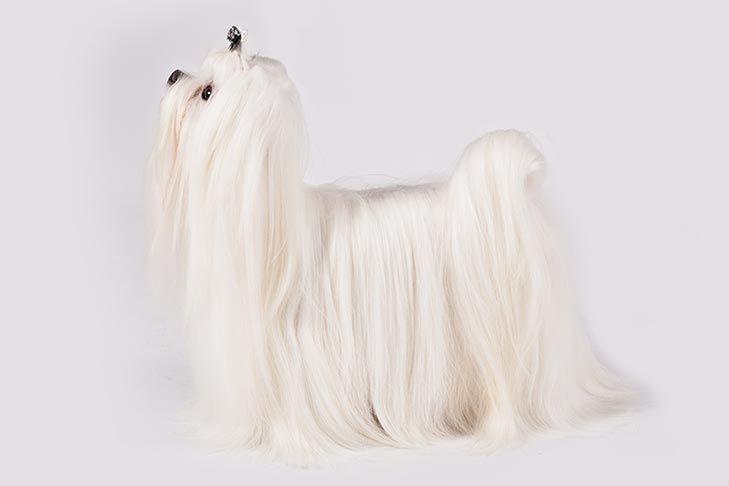 Maltese Dog Breed Information Dog Breeds Maltese Dog Breed