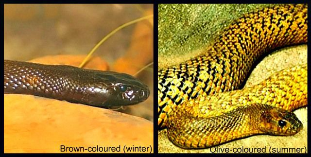 The color change is an adaptation which allows the inland taipan to absorb more heat in winter and less heat in summer. The Fierce Snake / Inland Taipan Facts - Questions and Answers.
